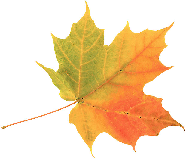 Cool nights cause glucose trapped in leaves to turn reddish, like in maples.